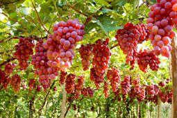 新疆:农户种植优质葡萄  走上致富路