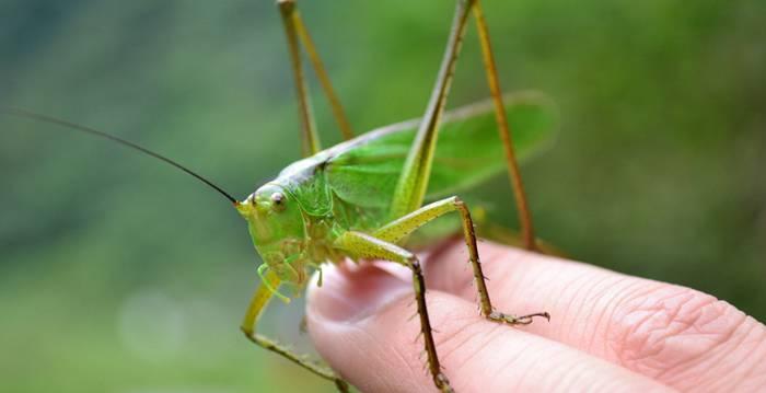 蝗虫养殖前期要注意什么?