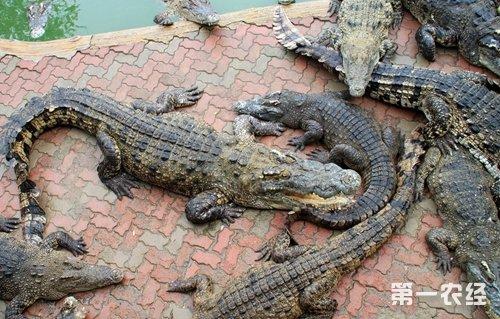 一舉多得養鱷魚(上)20150119