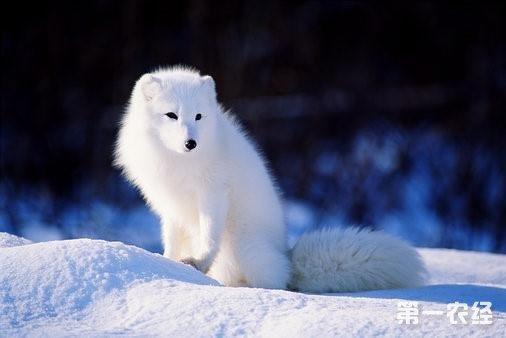 山东临清 受宠的狐狸