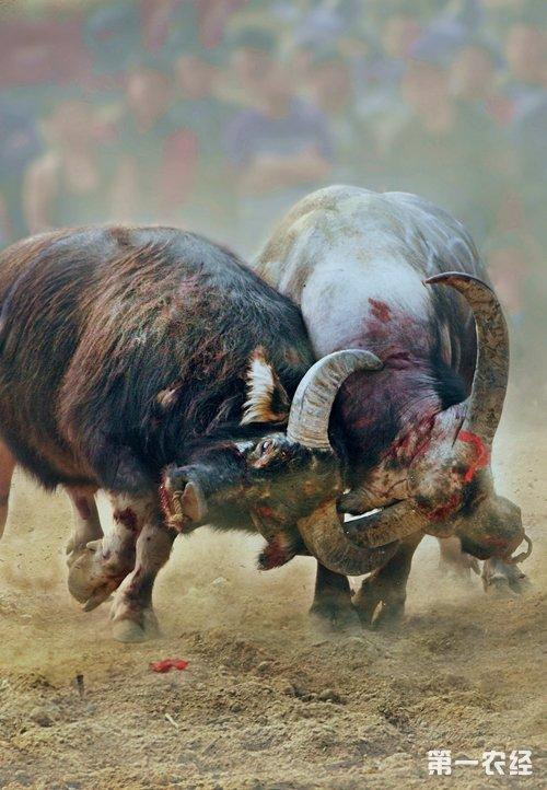 广西柳州:融安牛王争霸赛