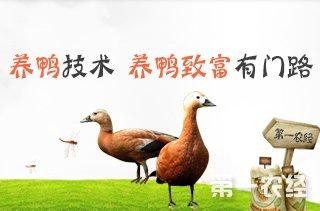 【养鸭专题】养鸭子技术 养鸭子赚钱吗?