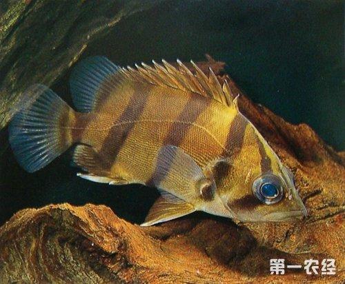 <b>泰国虎鱼和印尼虎鱼饲养专家解读</b>