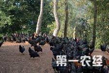 <b>高县胜天镇养鸡:开启乡镇畜牧产业的发展</b>