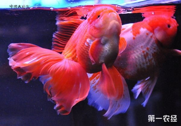 如何正确饲养金鱼泰狮?