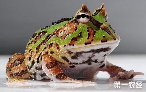 霸王角蛙饲养技术视频