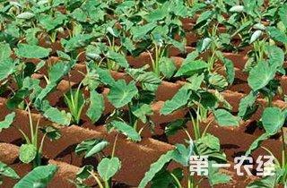 【芋头专题】芋头种植技术|芋头病虫害