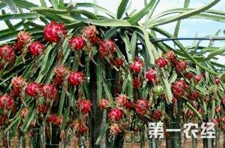 【火龙果专题】火龙果种植技术大全|病虫害防治