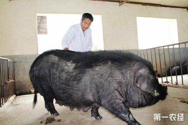 贵州遵义长得慢的黑猪能致富