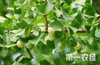 【银杏专题】银杏种植技术大全 银杏病虫害