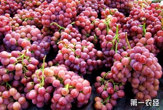 云南蒙自一亩葡萄卖出30万元