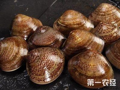 江苏如东舞动出的文蛤新鲜卖