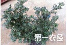 红豆杉几年才会开花结果?