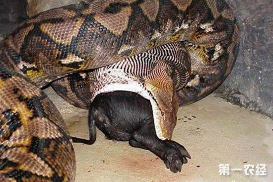 【专家解答】 目前中国最大的蟒蛇在重庆动物园两栖馆内,名叫安安,长