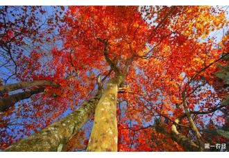 人工栽种的小红树林成功在上海扎根