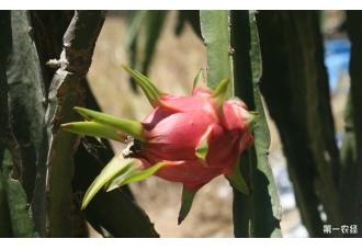 上海首家本地基地种植的火龙果已经进入全面盛果期