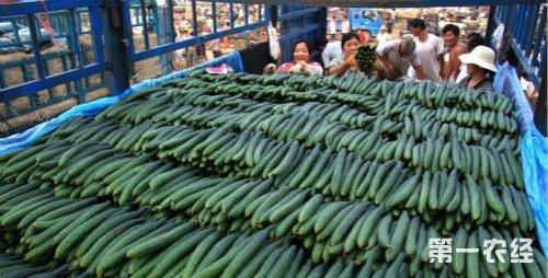 临沂:亩产黄瓜超7万斤,创国内最高纪录