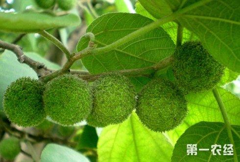 """每公斤售价48元  修武县吃""""树""""猪卖价高"""