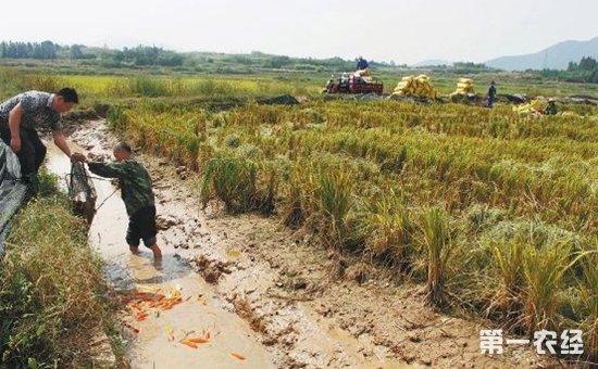 湖北:稻渔综合种养再立新功 水产转变发展方式