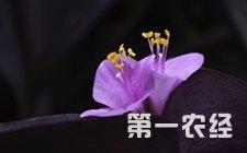 紫罗兰盆栽怎么养?紫罗兰盆栽的养殖方法