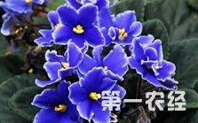 非洲紫罗兰怎么养?非洲紫罗兰的养殖方法