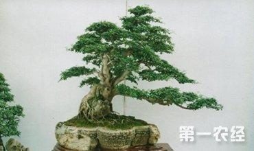 榕树盆景怎么养?榕树盆景的养护要点