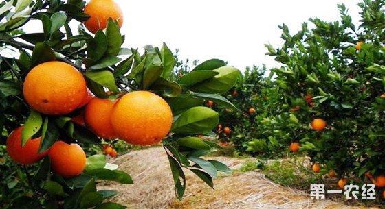 广西:技术引领种植 原生态柑桔品质高