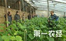 北京:瓜好味甜 京郊农户试水生态益生菌肥