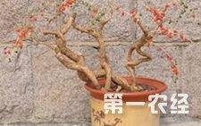 枸杞怎么种?盆栽枸杞种植的方法