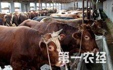 <b>牛结核病怎么办 牛结核病的治疗</b>
