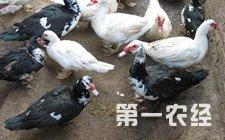 蛋鸭为什么不产蛋 蛋鸭不产蛋的防治方法