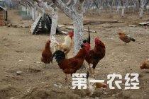 上百只鸡一夜之间被咬死 养殖户损失惨重