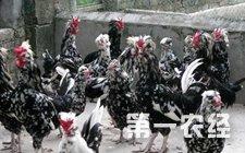 """贵妃鸡怎么养?贵妃鸡科学饲养管理技术的""""四原则"""""""