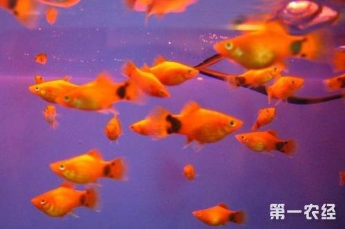 米奇鱼繁殖需是否公母交配图片