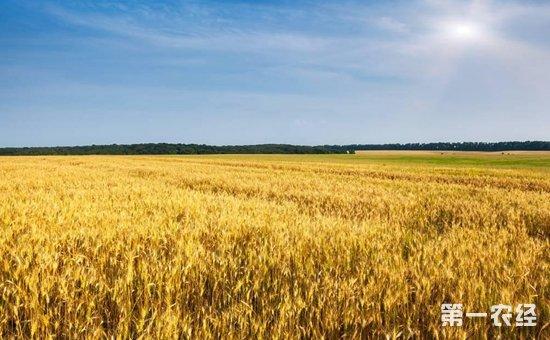 政策影响小麦走势 价格下跌已成定局