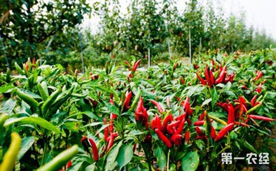 拓展终端市场  2017第十二届全国辣椒产业大会将在河南举办