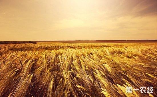 9月小麦市场有望稳中上行