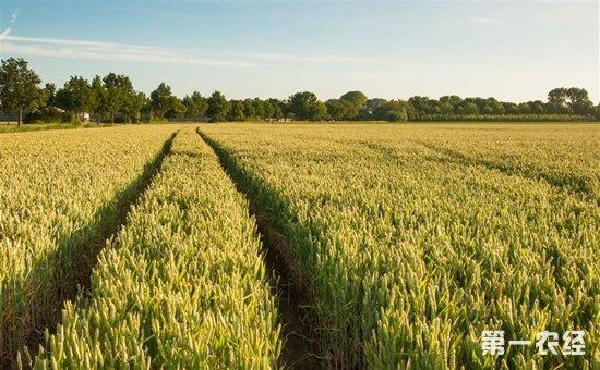 市场流通粮源减少 小麦价格全面上涨