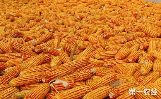 阴雨天气持续不断 华北黄淮玉米价格回暖