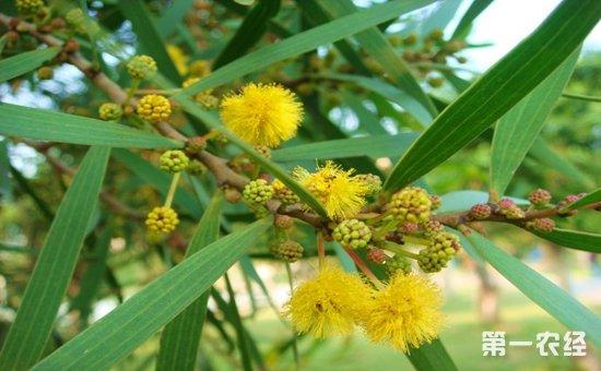 相思树是什么树?台湾相思花期和相思树图片