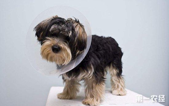 狗狗绝育好吗?狗绝育手术的利与弊