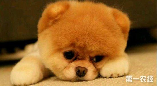 泰迪狗低血糖怎么办?狗低血糖症状与治疗