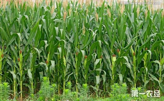 玉米备库需求释放价格上行
