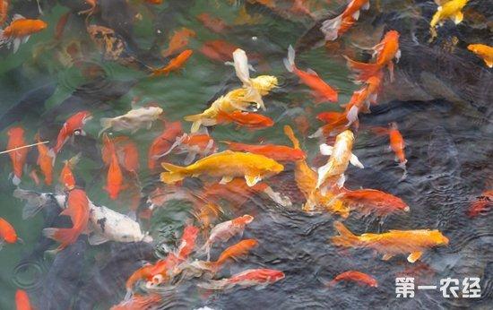 泉水鱼?致富鱼!