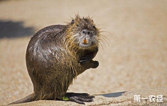 海狸鼠价格 海狸鼠多少钱一斤?