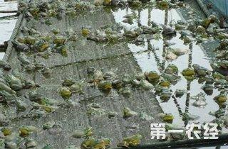 【牛蛙专题】牛蛙人工饲养指南|蛙病防治