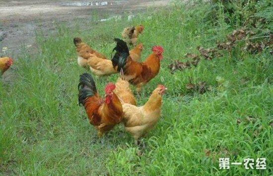 重庆毗罗:土鸡养殖助力整村脱贫