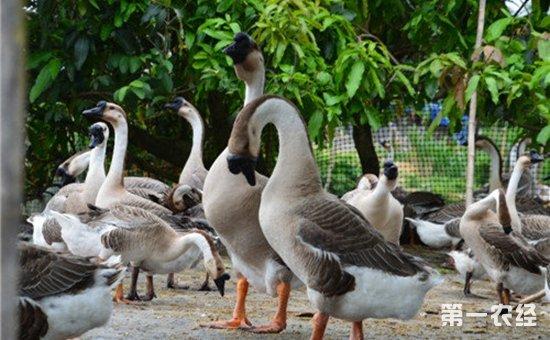 鹅的养殖技术|生豆饼可以用来喂鹅吗?