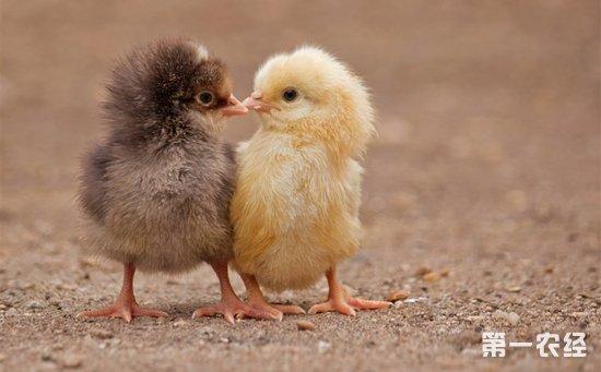 鸡有哪些常见疾病?六大常见鸡病的发病症状和预防措施