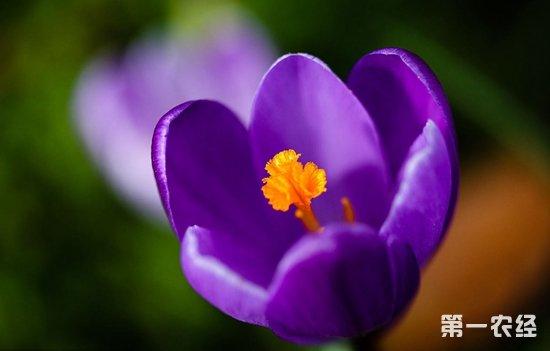 紫番红花的常见病害及防治